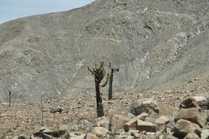 Kaktus argimutilak basamortuan. Socoroma, Txile.